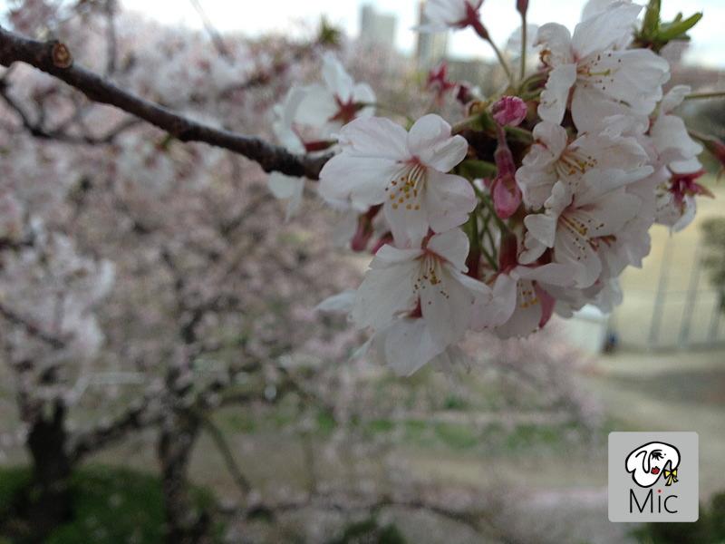 福岡城跡地の桜