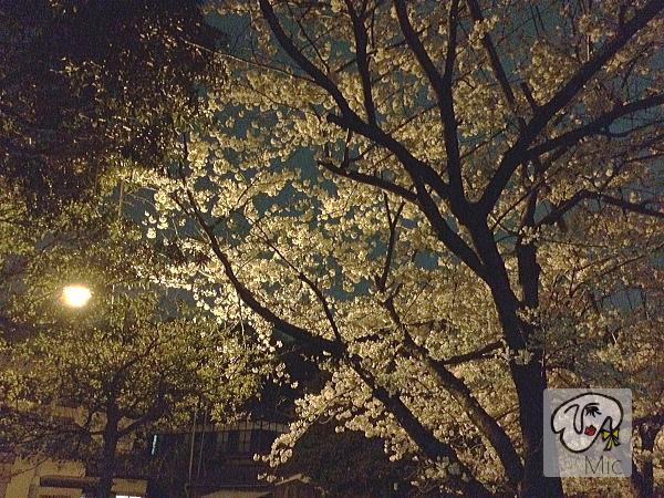 サロン近くの桜並木です。もうかなり散り始めました。